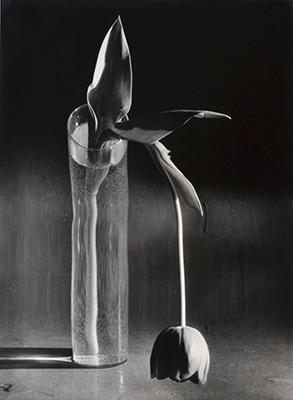 "<em>Melancholic Tulip</em>, 1939, printed 1980<br>Gelatin silver print</br>Image: 13 5/8 x 10""; Paper: 14 x 11"""