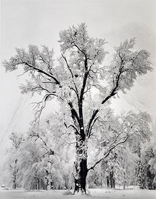 <em>Oak Tree, Snowstorm, Yosemite National Park, California</em>, 1948<br>Gelatin silver print