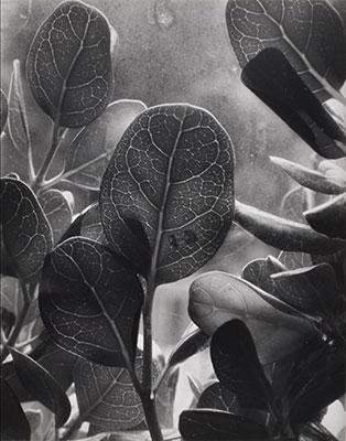 """<em>Dew, Nasturtium Leaf</em>, 1952<br>Vintage gelatin silver print</br>Image: 3 3/4 x 4 5/8""""; Mount: 8 1/2 x 10 1/4"""""""