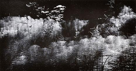 """<em>Horse Tail Ferns</em>, 1956<br>Vintage gelatin silver print</br>Image: 3 1/2 x 6 1/2""""; Mount: 9 1/4 x 11 1/4"""""""