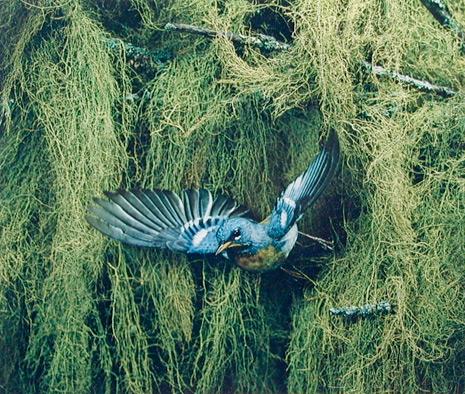 <em>Parula Warbler, Great Spruce Head Island, Maine,</em> 1968<br>Dye-transfer print<br>Sold