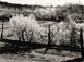 "<em>Chimayo, New Mexico, Fruit Trees</em>, 1940<br />Gelatin silver print<br />Image: 8 x 10""; Mount: 15 x 20"""