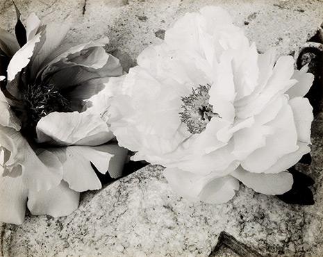 Minor White (1908 - 1976)<br><em>Peonies</em>, c. 1957</br> Vintage gelatin silver print
