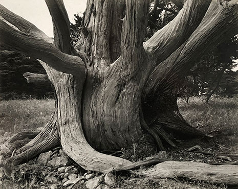 "<em>Untitled (Tree Trunk)</em>, 1938<br>Vintage gelatin silver print</br>Image: 7 1/2 x 9 1/2""; Mount: 14 x 18"""