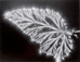 """<em>Begonia Leaf,</em> 1974<br />Vintage gelatin silver print<br />Image: 10 1/8 x  13 3/8""""; Mount: 16 x 20"""""""