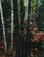 <em>Maple and Birch Trunks and Oak Leaves, Passaconaway, New Hampshire</em>, 1956<br>Dye-transfer print