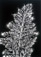 Walter Chappell<br /><em>Wild Carrot,</em> 1974</br>Gelatin silver print